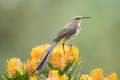 Western Cape Birding - The Southern Tip of Africa