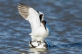 Mating Dance of the Pied Avocet