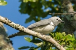 white-breasted cuckoo shrike by wildlife and conservation photographer Peter Chadwick.jpg