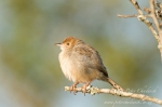 rattling cisticola by wildlife and conservation photographer Peter Chadwick.jpg