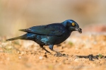 cape glossy strarling by wildlife and conservation photographer peter chadwick.jpg