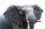 African Elephant portrait by wildlife and conservation photographer Peter Chadwick.jpg