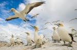 Cape Gannet_©PeterChadwick_AfricanConservationPhotographer.jpg