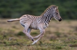 Burchells zebra foal running by wildlife and conservation photographer peter chadwick