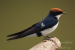 Wire-Tailed Swallow by wildlife and conservation photographer Peter Chadwick.jpg