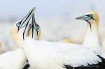 Cape Gannets_©PeterChadwick_AfricanConservationPhotographer.