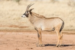 Roan Antelope by wildlife and conservation photographer Peter Chadwick.jpg