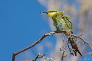 Swallowtailed Bee-eater | Kgalagadi Transfrontier Park | Bird Photography | ©Arne Purves | #Photodestinations