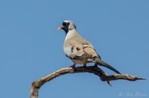 A Namaqua Dove | Nossob Camp | Kgalagadi Transfrontier Park | Kalahari | Bird Photography | © Arne Purves