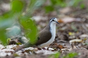Male Tambourine Dove in the forest by Wildlife and Conservation Photographer Peter Chadwick.