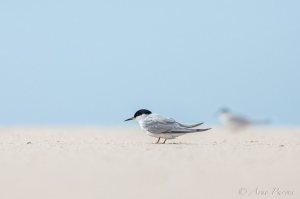 Damara Tern near De Mond | ©Arne Purves | African Conservation Photography