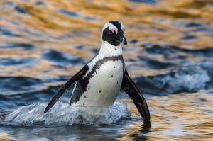 African Penguin by wildlife and conservation photographer Peter Chadwick.