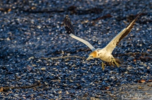 Cape Gannet Takes Flight | Lamberts Bay | Bird island | Western Cape Birding Route | ©Arne Purves