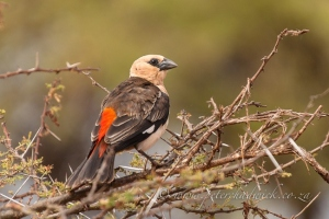 White Headed Buffalo Weaver by wildlife and conservation photographer Peter Chadwick.