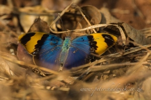 Gold banded forester by wildlife and conservation photographer Peter Chadwick.jpg