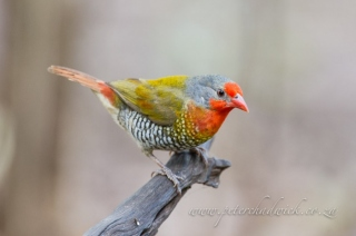 Orange winged pytilia by wildlife and conservation photographer Peter Chadwick.