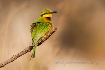 Little bee eater by wildlife and conservation photograpger Peter Chadwick.jpg