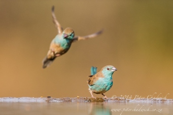 Blue Waxbills drinking by wildlife and conservation photographer Peter Chadwick.jpg