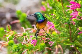 Orange-breasted Sunbird in Kirstenbosch copyright arne purves