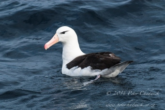 Adult black-browed Albatros by wildlife and conservation photographer Peter Chadwick.jpg