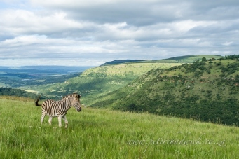 Grasslands of Umgeni Valley by Wildlife and conservation photographer Peter Chadwick.jpg